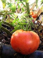 tomatoes in november (c)2006 AEC